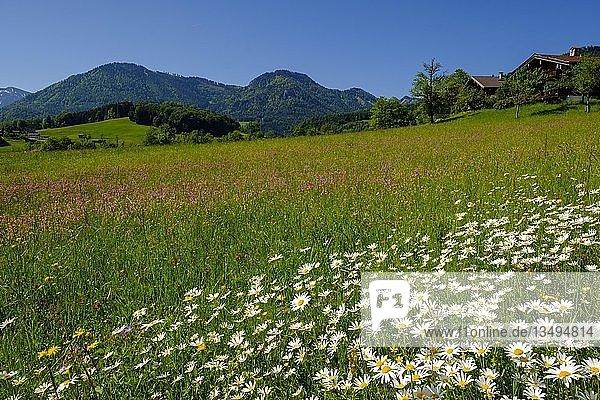 Blumenwiesen mit Margeriten in Obergschwend  Ruhpolding  mit Unternberg  Chiemgau  Oberbayern  Bayern  Deutschland  Europa