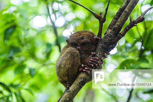 Koboldmaki (Tarsiidae)  kleinster Affe der Welt  Bohol  Philippinen  Asien