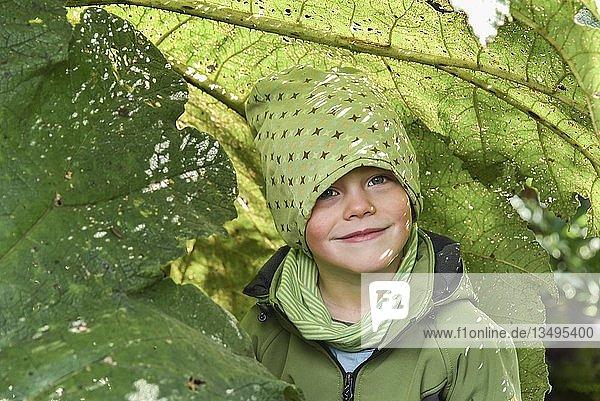 Kleiner Junge unter Mammutblatt (Gunnera manicata)  El Bosque Encantado  gemäßigter Regenwald mit Moos und Flechten  Carretera Austral  Queulat National Park  Cisnes  Región de Aysén  Chile  Südamerika