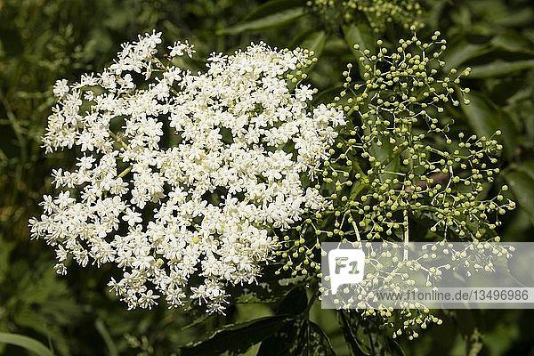 Holunder (Sambucus)  Blütenstand  Niedersachsen  Deutschland  Europa