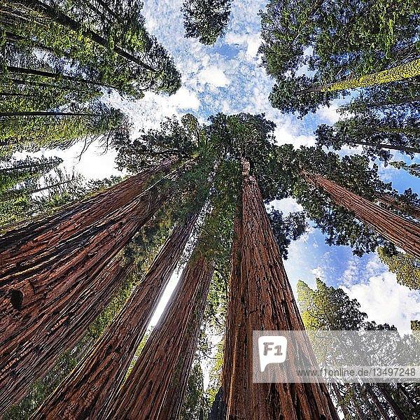Riesenmammutbäume (Sequoiadendron giganteum) aus der Froschperspektive  im Giant Forest  Sequoia-Nationalpark  Kalifornien  USA  Nordamerika
