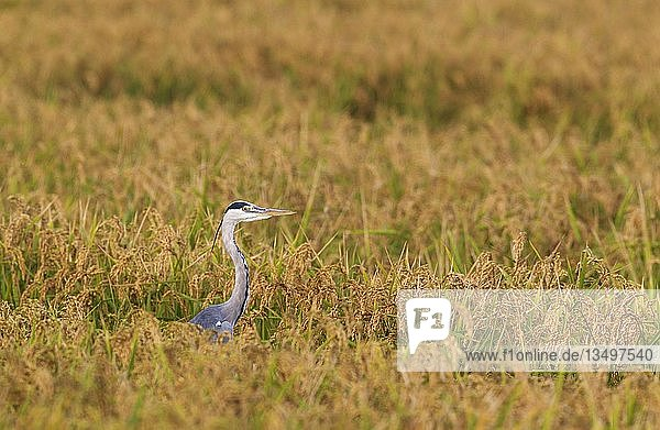 Graureiher (Ardea cinerea)  jagt zur Erntezeit in einem Reisfeld (Oryza sativa)  Naturpark Ebro-Delta  Provinz Tarragona  Katalonien  Spanien  Europa