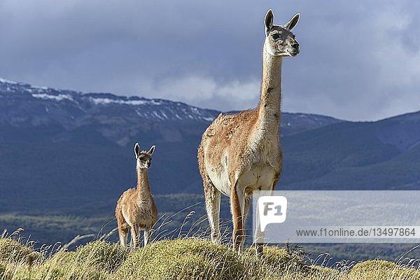 Guanakos (Lama guanicoe) auf einem Bergrücken  Nationalpark Tamango National Reserve  bei Cochrane  Patagonien  Chile  Südamerika