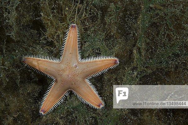 Kammseestern (Astropecten platyacanthus) liegt auf Meeresalgen  Norwegisches Meer  Nordatlantik  Norwegen  Europa