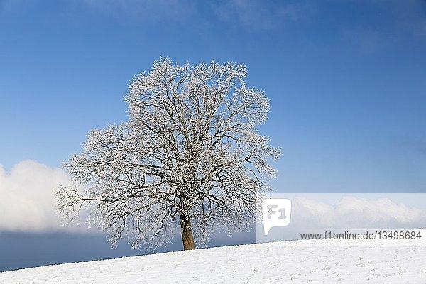 Baum mit Rauhreif  Winterlandschaft auf dem Rorschacherberg  Büch  Grub  Appenzell Ausserrhoden  Schweiz  Europa
