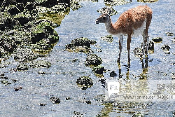 Magellan-Pinguin (Spheniscus magellanicus) mit Guanako (Lama guanicoe)  Pinguinkolonie Punta Tombo bei Pininsula Valdez  Patagonien  Ostküste  Atlantischer Ozean  Argentinien  Südamerika