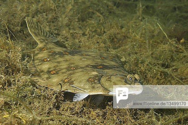Scholle (Pleuronectes platessa) schwimmt über Algen  Nordmeer  Nordatlantik  Norwegen  Europa