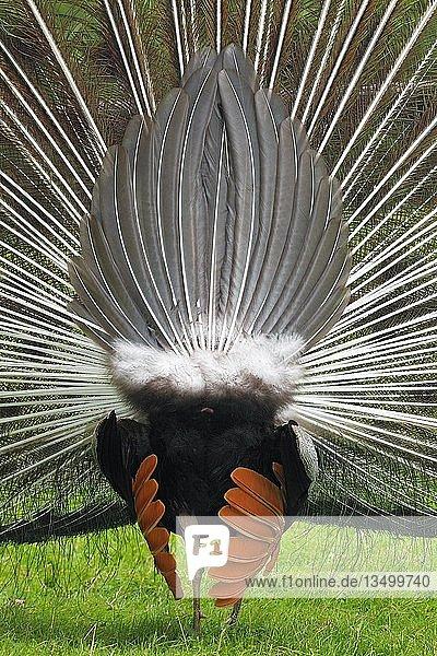 Balzender Pfau (Pavo cristatus)  Radschlagender Hahn  Deutschland  Europa
