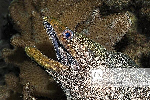 Rußkopfmuräne  auch Gelbgefleckte Muräne (Gymnothorax flavimarginatus)  zwischen Lederkorallen (Alcyoniidae)  Daymaniyat Inseln Naturreservat  Khawr Suwasi  Al-Batina Provinz  Indischer Ozean  Oman  Asien
