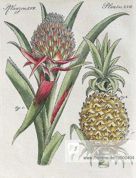 Ananas (Ananas comosus)  handkolorierter Kupferstich aus Friedrich Justin Bertuch Bilderbuch für Kinder  1798  Weimar  Deutschland  Europa