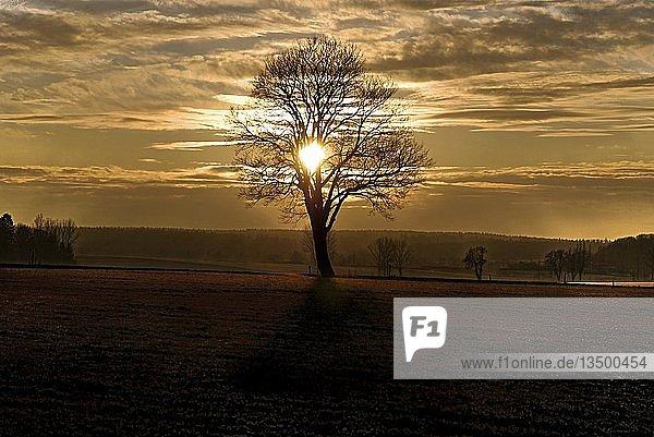 Sonnenuntergang mit einsam stehender Eiche in einer Rauhreif bedeckten Wiese bei Adelschlag  Bayern  Deutschland  Europa