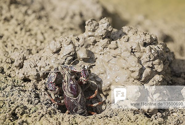 Roter Amerikanischer Sumpfkrebs (Procambarus clarkii)  invasive Art aus Nordamerika  hebt Bau am Rande eines überfluteten Reisfeldes aus  Naturpark Ebro-Delta  Provinz Tarragona  Katalonien  Spanien.