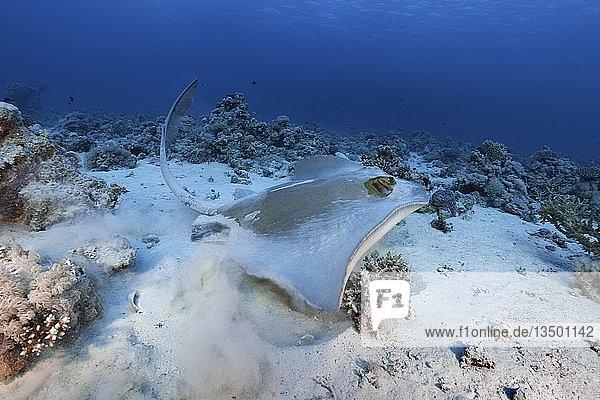 """Federschwanz-Stechrochen (Pastinachus sephen) startet vom Sandgrund,  Rotes Meer,  Ã""""gypten,  Afrika"""