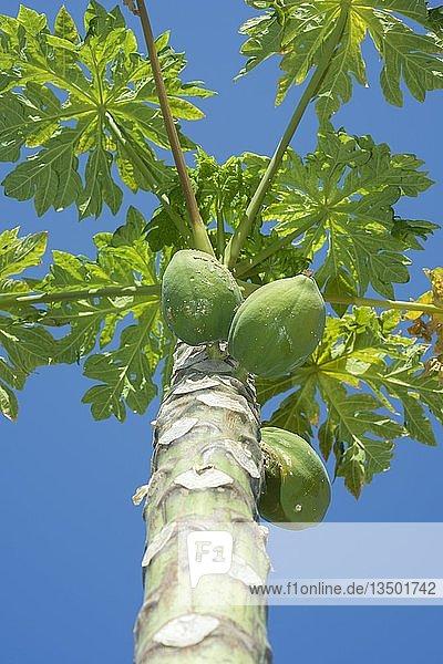 """Papaya (Carica papaya)  Ã""""gypten  Afrika"""