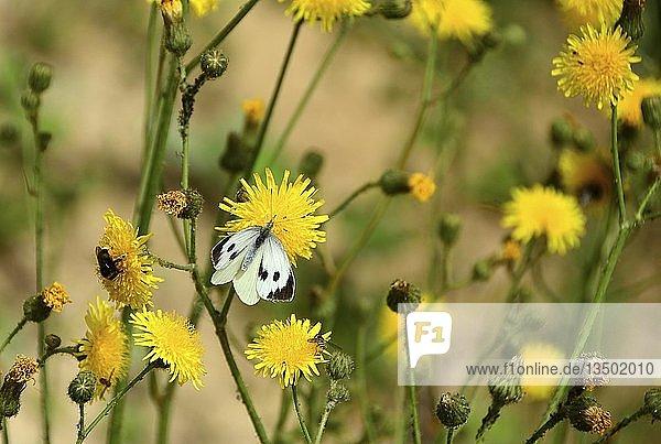 Kleiner Kohlweißling (Pieris rapae) sitzt auf Gemeinem Greiskraut (Senecio vulgaris)  Schleswig-Holstein  Deutschland  Europa
