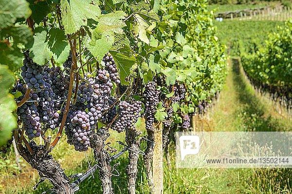 Blaue Weintrauben  Weinreben  Weinberg  Kalterer See  Kaltern  Trentino  Südtirol  Italien  Europa