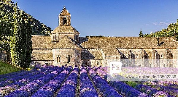 Die romanische Zisterzienserabtei Abbaye Notre-Dame de Sénanque inmitten von blühenden Lavendelfeldern  bei Gordes  Provence  Frankreich  Europa