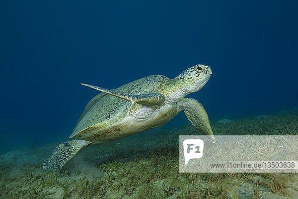 Suppenschildkröte (Chelonia mydas) schwimmt über Sandboden in blauem Wasser  Rotes Meer  Marsa Alam  Ägypten  Afrika