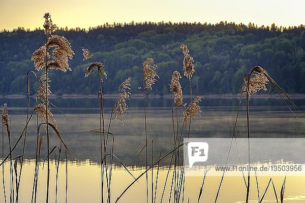 Schilfgras in der Morgensonne am Tachinger See  Rupertiwinkel  Chiemgau  Oberbayern  Bayern  Deutschland  Europa