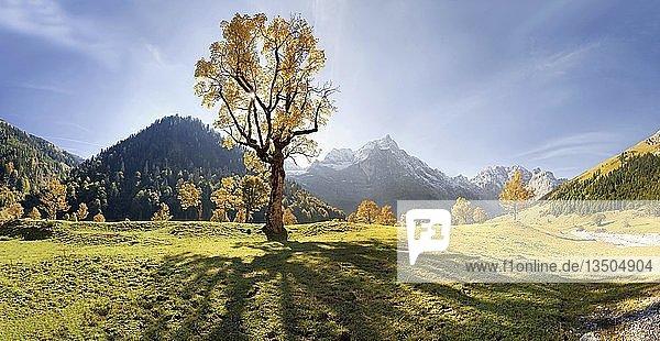 Leuchtender herbstlicher Ahornbaum mit langen Schatten und schneebedeckten Berggipfeln im Großen Ahornboden  Karwendel  Österreich  Europa