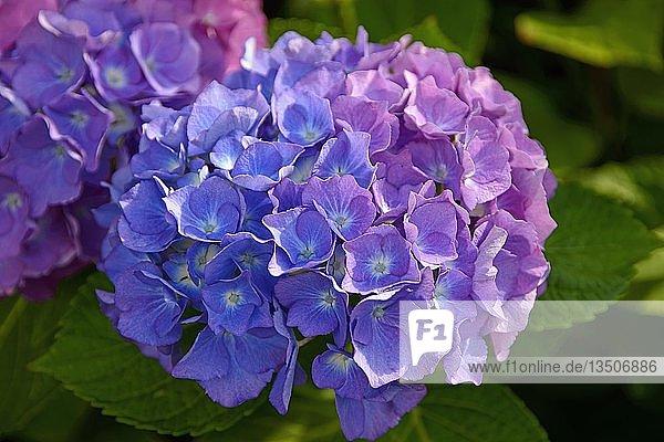 Blühende blaue Hortensie (Hydrangea)  Niedersachsen  Deutschland  Europa