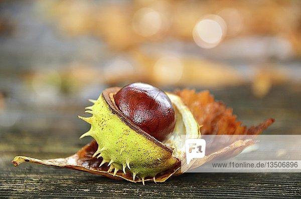 Aufgeplatzte Kastanie (Castanea) mit Schale  Symbolbild Herbst  Deutschland  Europa