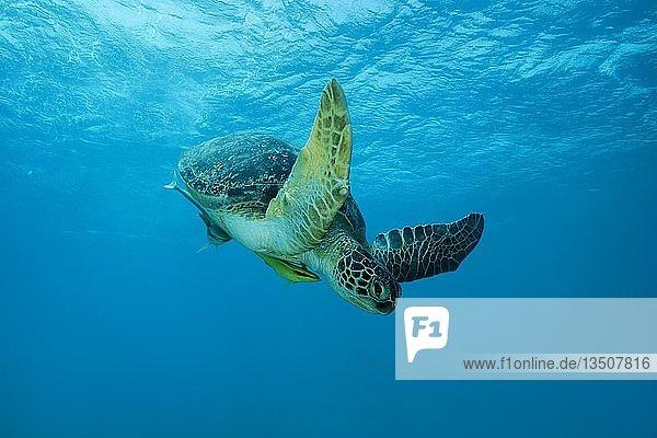 Suppenschildkröte (Chelonia mydas) schwimmt in blauem Wasser  Rotes Meer  Marsa Alam  Ägypten  Afrika