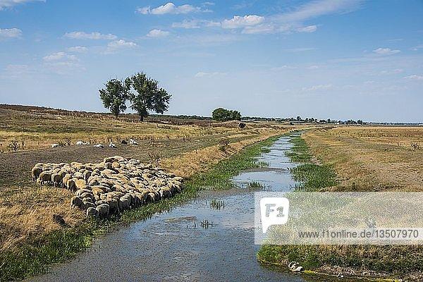 Schafherde auf einem kleinen Kanal grasend  Besalma  Gagauzia  Moldawien  Europa
