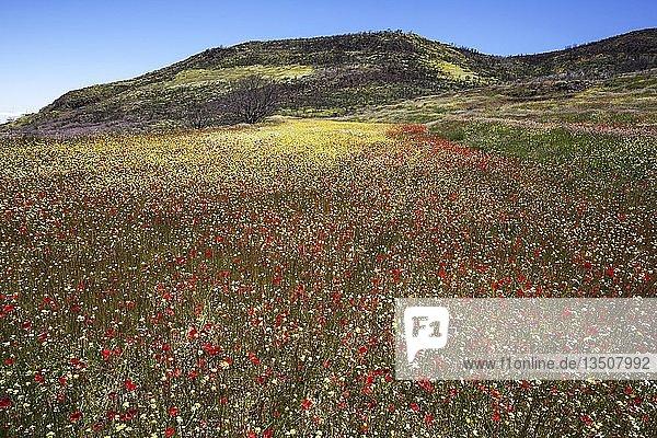 Blumenwiese mit Klatschmohn (Papaver rhoeas) und bunten Wiesenpflanzen  Barranco de la Mina  bei Las Lagunetas  Gran Canaria  Kanarische Inseln  Spanien  Europa