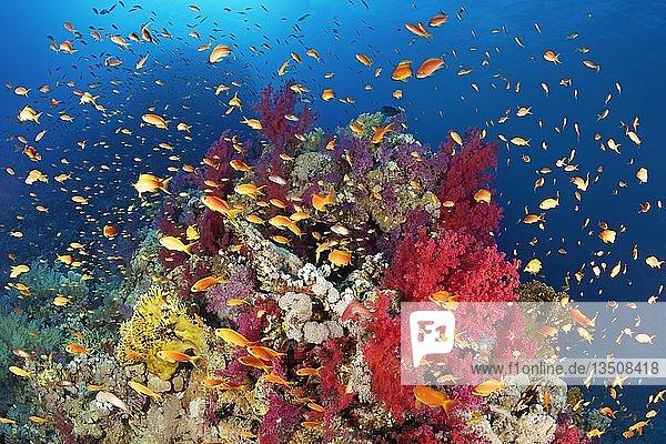 """Korallenriff  Riffblock dicht bewachsen mit Klunzingers Weichkorallen (Dendronephthya klunzingeri) und verschiedenen Steinkorallen (Hexacorallia)  Schwarm Fahnenbarsche (Anthiinae)  Rotes Meer  Ã""""gypten  Afrika"""