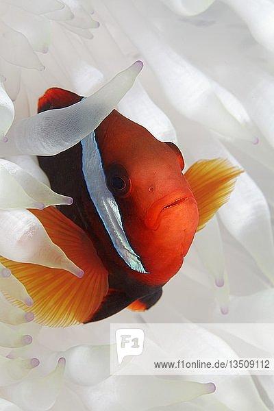 Clarks Anemonenfisch (Amphiprion clarkii) in weißer Anemone  Großes Barriereriff  Pazifik  Australien  Ozeanien