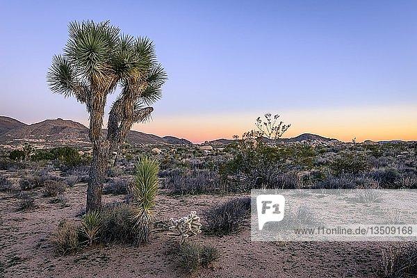Wüstenlandschaft  Josua-Palmlilie (Yucca brevifolia) bei Sonnenuntergang  White Tank Campground  Joshua-Tree-Nationalpark  Desert Center  Kalifornien  USA  Nordamerika