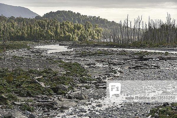 Durch Ausbruch des Vulkans Chaitén abgestorbene Bäume am Flussbett  bei Puente los Gigios  Pumalín Park  Chaitén  Región de los Lagos  Chile  Südamerika