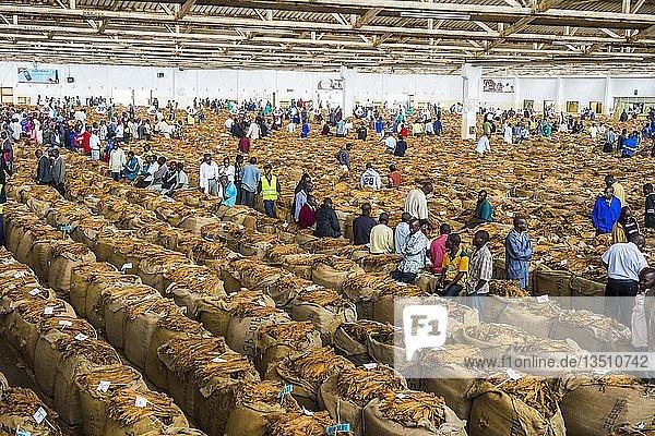 Lokale Arbeiter zwischen riesigen Taschen mit getrockneten Tabakblättern in einer Halle auf einer Tabakauktion  Lilongwe  Malawi  Afrika