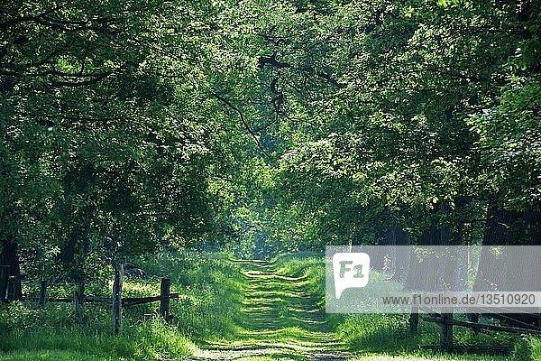 Idyllische Allee mit alten Eichen (Quercus)  Hessen  Deutschland  Europa