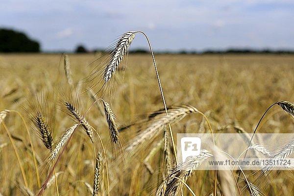 Weizenfeld  Weizen (Triticum)  erntereife Ähren