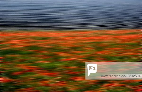 Blurred field of poppies  background image