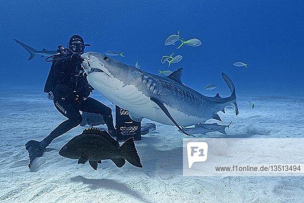 Shark feeding  diver feeding Tiger Shark (Galeocerdo cuvier)  Bahamas  Central America