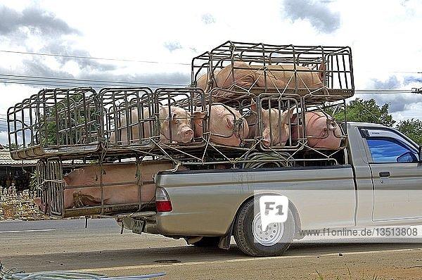 Schweinetransport auf thailändisch Thailand