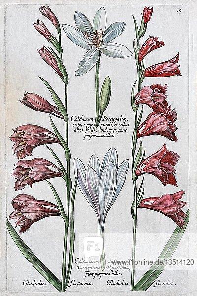 Safran (Crocus sativus)  Handkolorierter Kupferstich  Johann Theodor de Bry  aus Florilegium Novum  1611  Deutschland  Europa