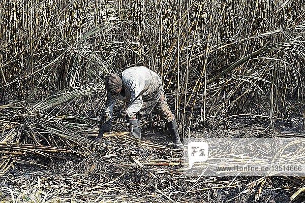 Zuckerrohrschneider in den verbrannten Zuckerrohrfeldern  Nchalo  Malawi  Afrika
