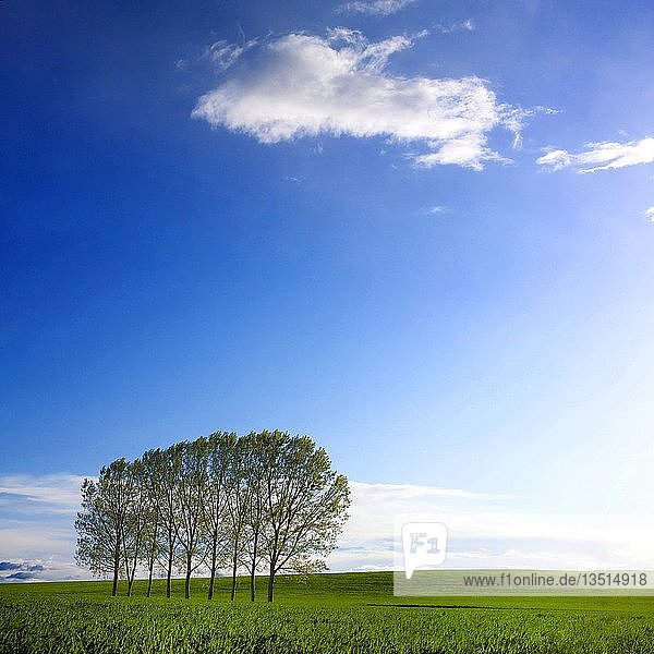 Trees in a row on a green meadow in front of blue sky  Puy de Dome department  Auvergne-Rhône-Alpes  France  Europe