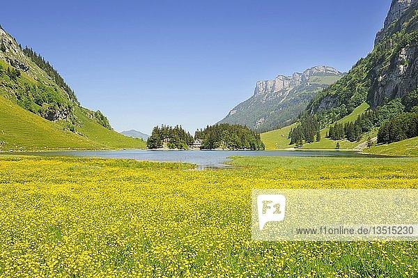 Hahnenfuß  auch Butterblumen (Ranunculus) auf der Seealp am 1143 m hoch gelegenen Seealpsee in den Appenzeller Alpen  Kanton Appenzell Innerrhoden  Schweiz  Europa