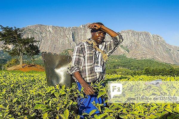Teepflücker auf einer Teeplantage auf dem Mount Mulanje  Malawi  Afrika