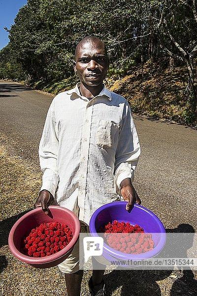 Mann  verkauft wilde Himbeeren  Zomba Plateau  Malawi  Afrika