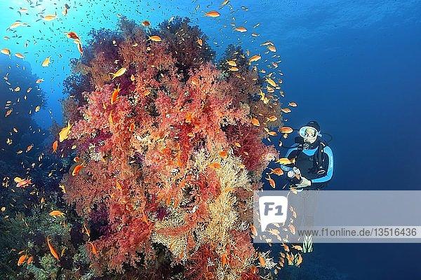 Taucher betrachtet großen Korallenblock mit dichtem Bewuchs aus Klunzingers Weichkorallen (Dendronephthya klunzingeri) mit Fahnenbarschen (Anthiinae)  Rotes Meer  Ägypten  Afrika