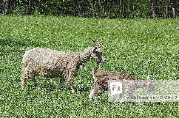 Zwei Toggenburger Ziegen (Capra aegagrus hircus)  links das Muttertier  rechts das Jungtier  Deutschland  Europa