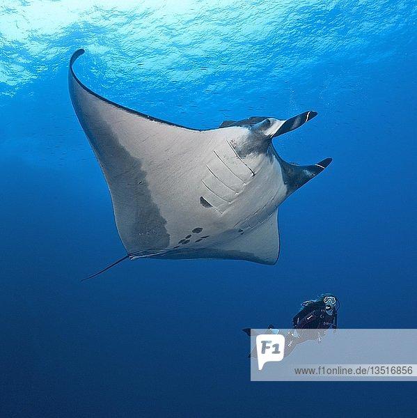 Diver floats with a Pelagic manta ray (Manta birostris)  San Benedicto Island  Revillagigedo Islands  Mexico  Central America