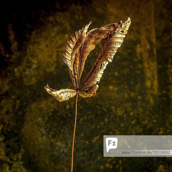 Dry chesnut leaf  France  Europe