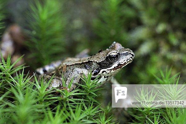 Moorfrosch (Rana arvalis)  sitzt in Moos